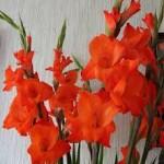 blog-01_gladiolen